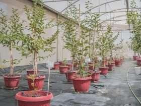 Mantención de Cerezos en invernadero