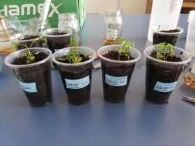 Aclimatación Plantas Nogal