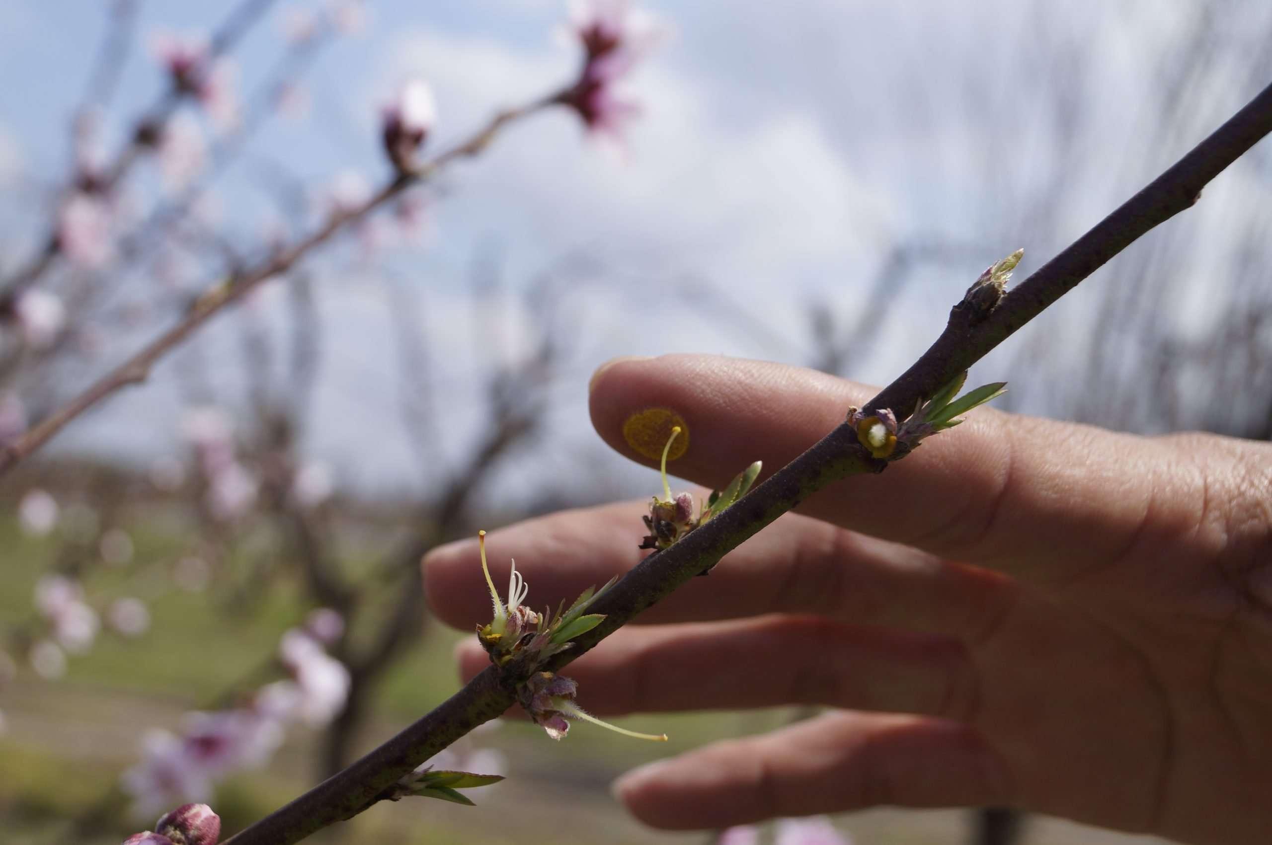 Polinización de Cerezos