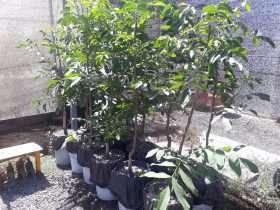 Plantas de Nogal para ensayos