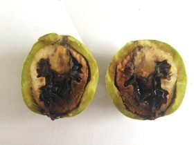 Peste negra interna en Fruto de Nogal